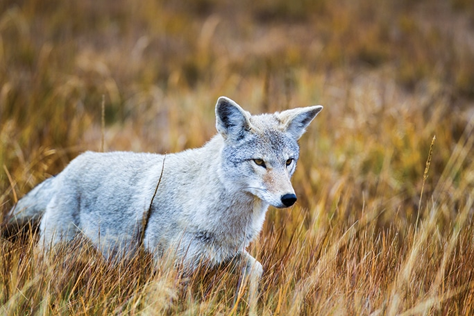 A coyote searches for food in Gibbon Meadows on a cool fall morning.
