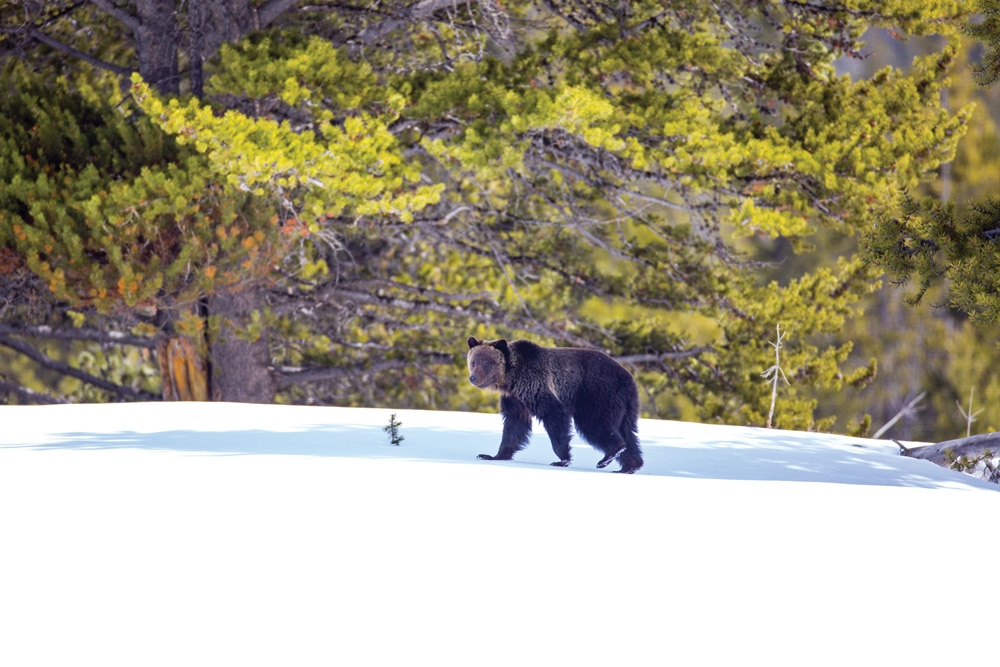 Bears, ravenous from hibernation, head to lower elevations to feast on plants and animal carcasses served up by winter's harsh weather.