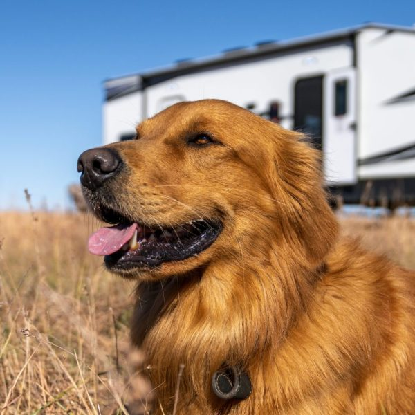 Dog in a Field with RV