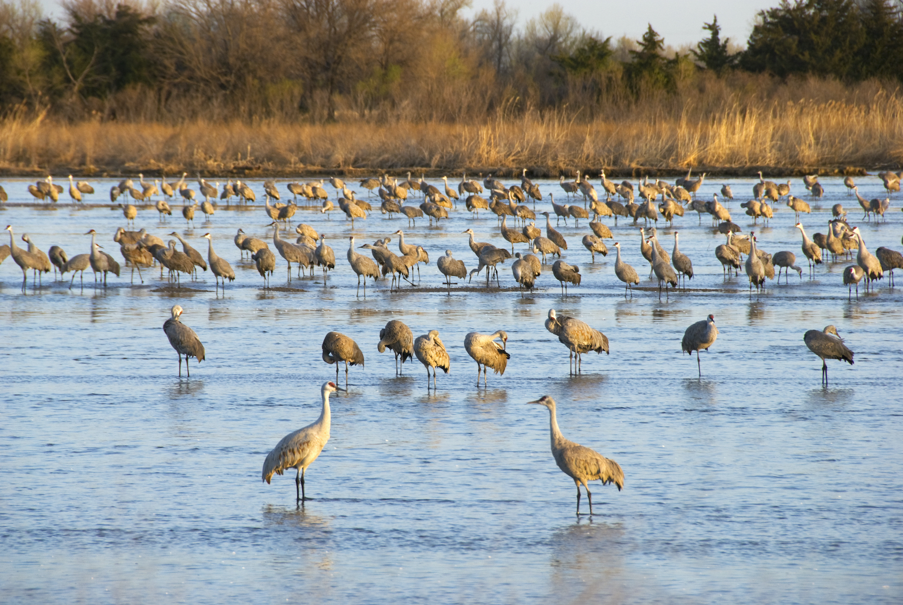 Sandhill cranes in the Platte River waking up and grooming on a sunny spring morning