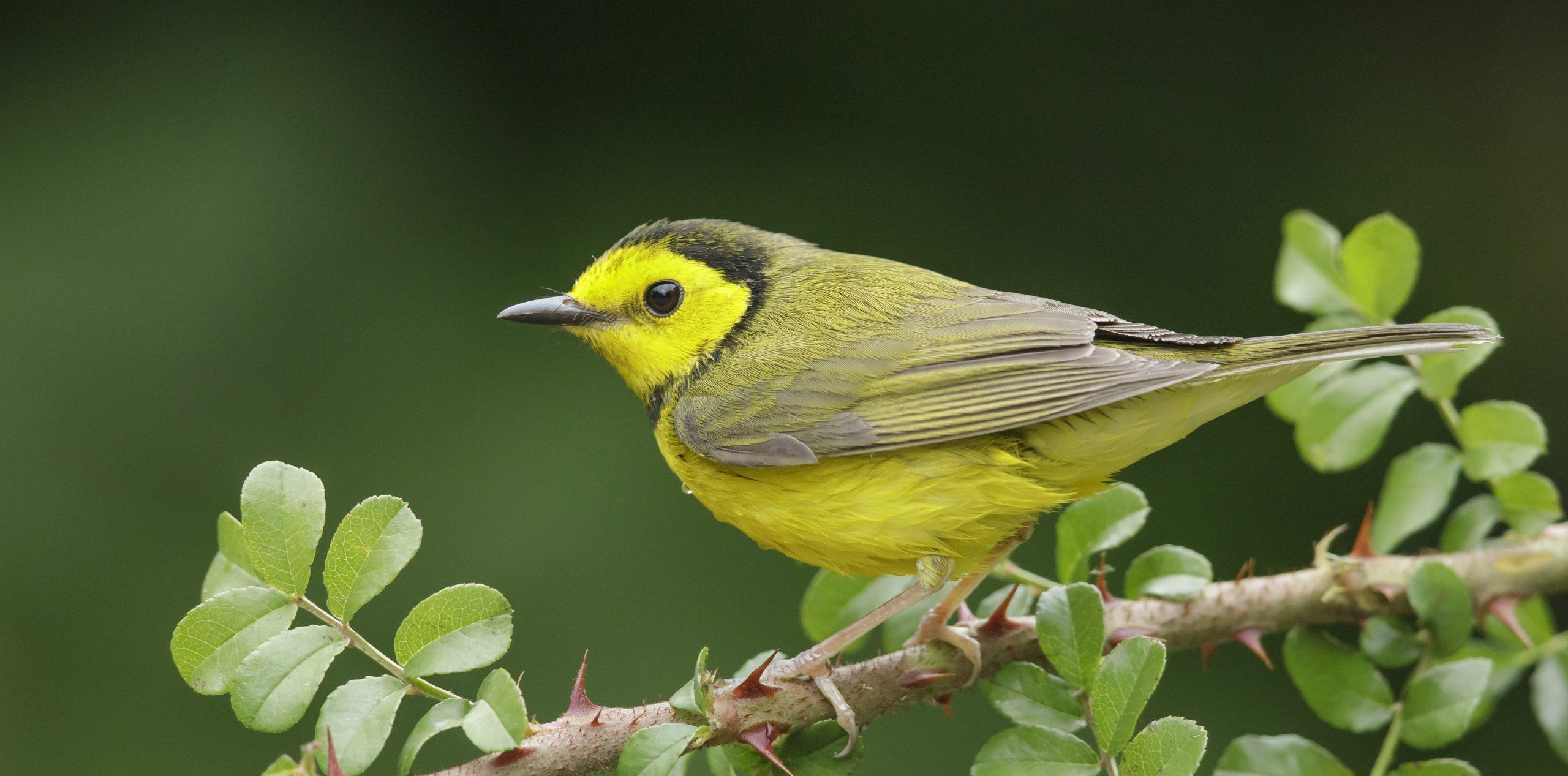 Warbler Birdwatching
