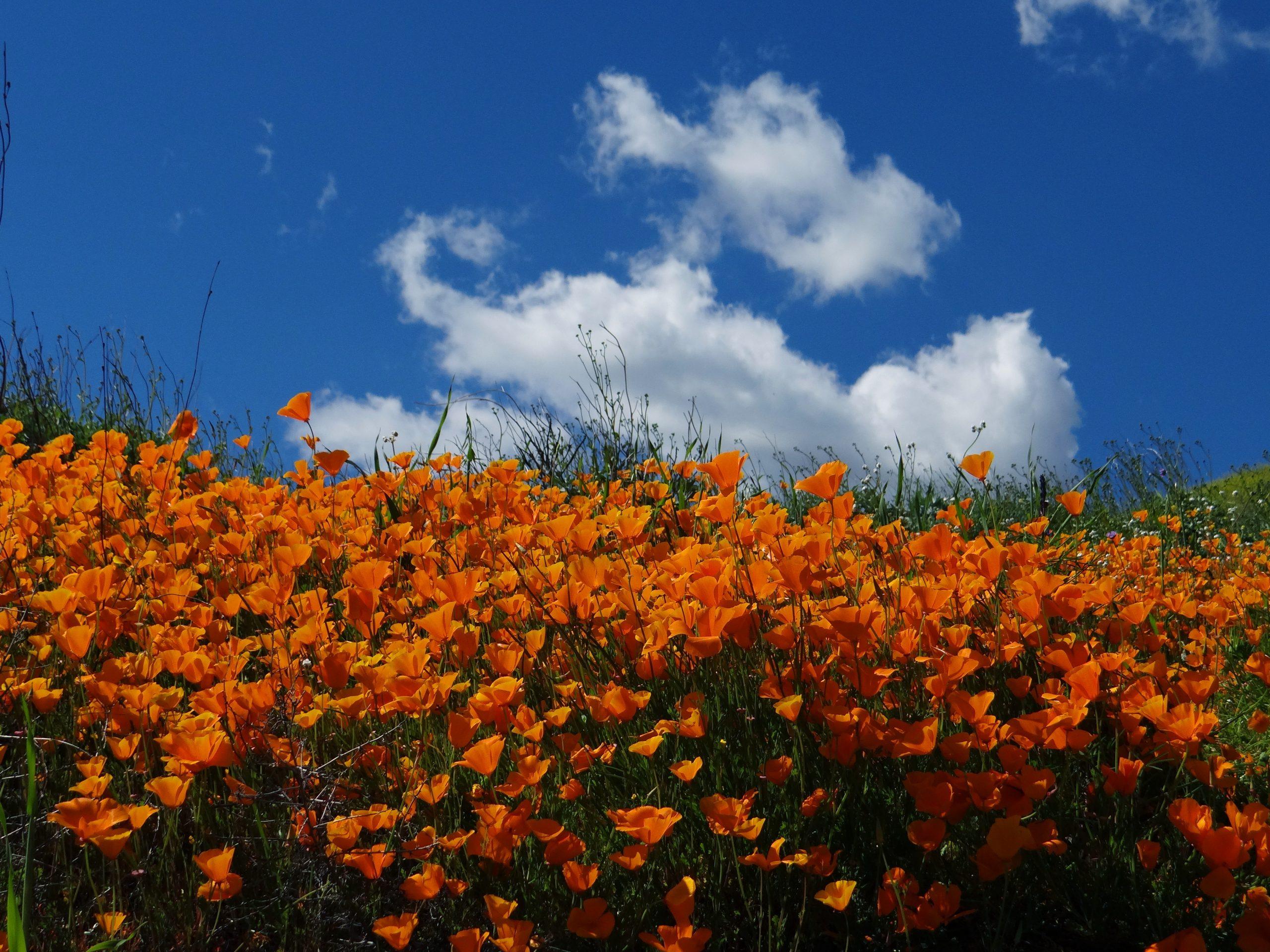 Southern California Poppy Wildfowers