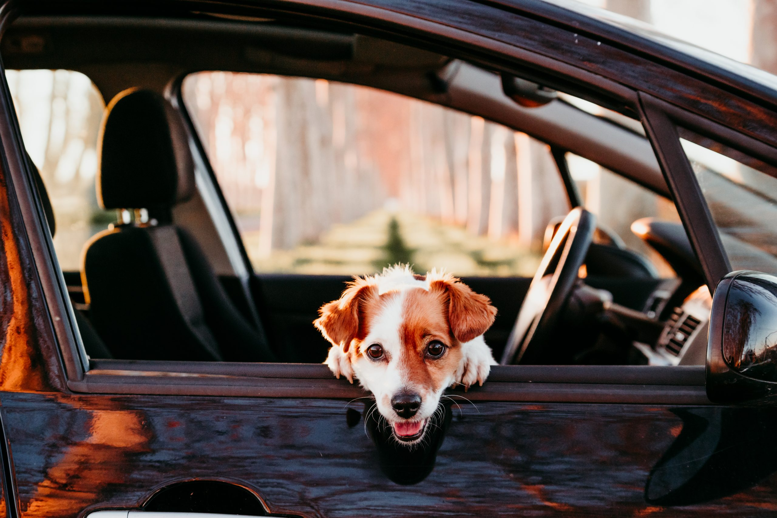 Safety for Your Pet in Car Summer