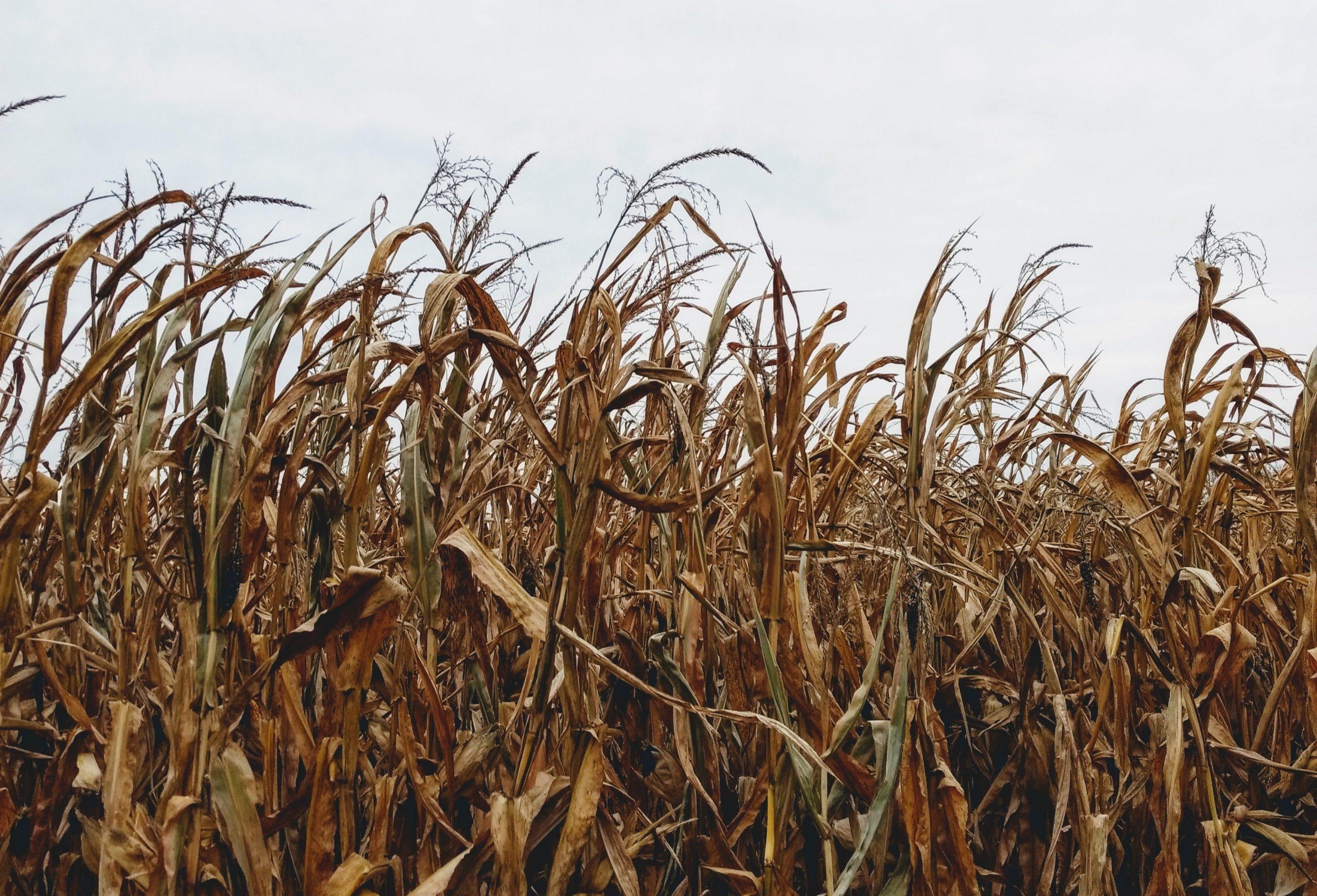 cornfield in Indiana