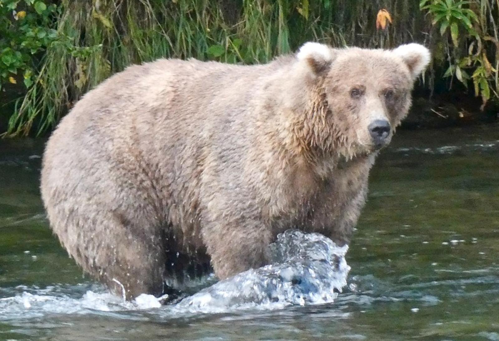Grazer bear